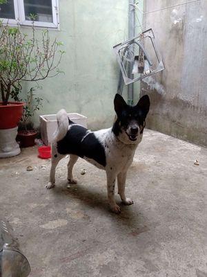 Bán chó đẹp & khôn hơn 1 năm tuổi