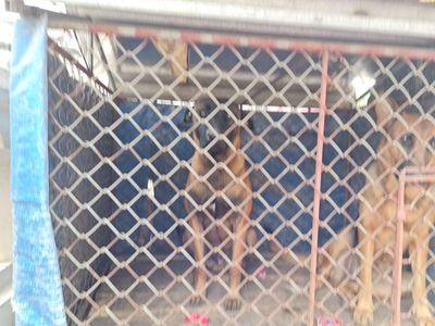 Chó becgie Bỉ đực 11 tháng