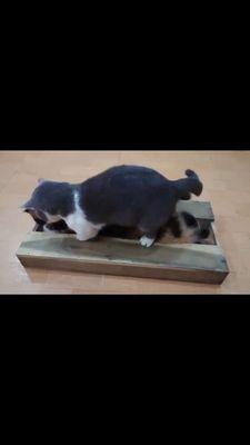 Nhận phối giống mèo chân ngắn munchkin