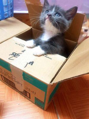 Bán mèo chân ngắn 3 tháng tuổi. Tại Hà Nội.