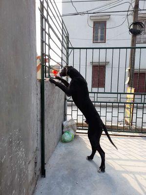 Chó KHỔNG LỒ