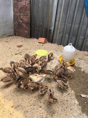 Bán bầy gà ta con,vacxin đầy đủ,gà ta chính hãng