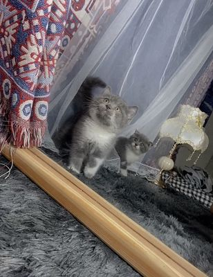 Mèo aln bicolor tai thẳng 2 tháng tuổi