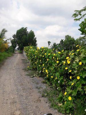 Bán vườn trồng 10x50m (500m), Hòa Phú, Củ Chi.