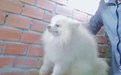 Pomeranian ( chó Phốc Sóc)