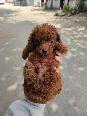Chó Poodle tiny nâu đỏ gần 2 tháng ❤️