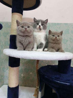 Mèo aln cần bán