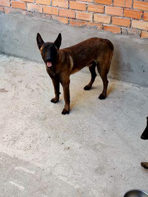 Chó Becgie Bỉ Malinois đã qua huấn luyện
