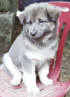 Bán chó Bắc Hà 2 tháng tuổi Chó nhà đẻ