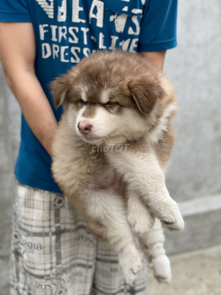 0978202063 - Alaska nâu đỏ Puppy