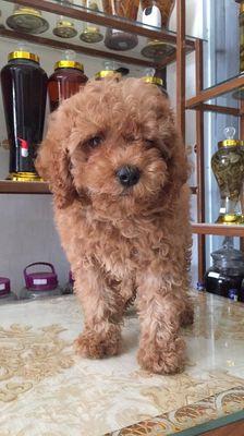 Chó đực poodle trên 2 tháng tuổi