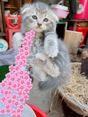 Mèo anh lông ngắn. Giá tuỳ từng bé