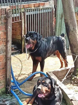 Bán Chó Rottweiler Dòng Đại