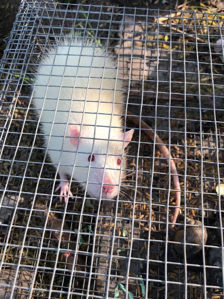 Cần tìm chủ cho em chuột bạch đột biến gen