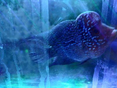 Cá la hán thái đỏ size 2.5