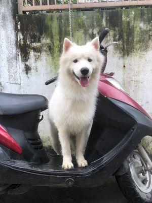 Chó Sammoyed trắng thuần chủng 10 tháng ( Đực
