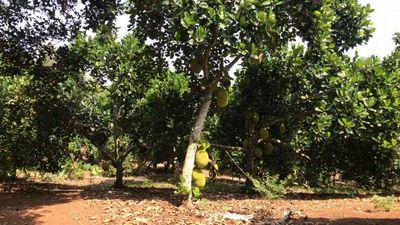 Bán vườn trái cây Xuân Lộc, đang cho thu hoạch