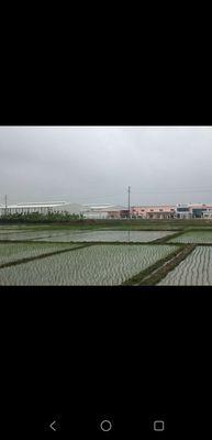 Bán Lúa Non dãn dân dịch vụ khu công nghiệp Quế Võ