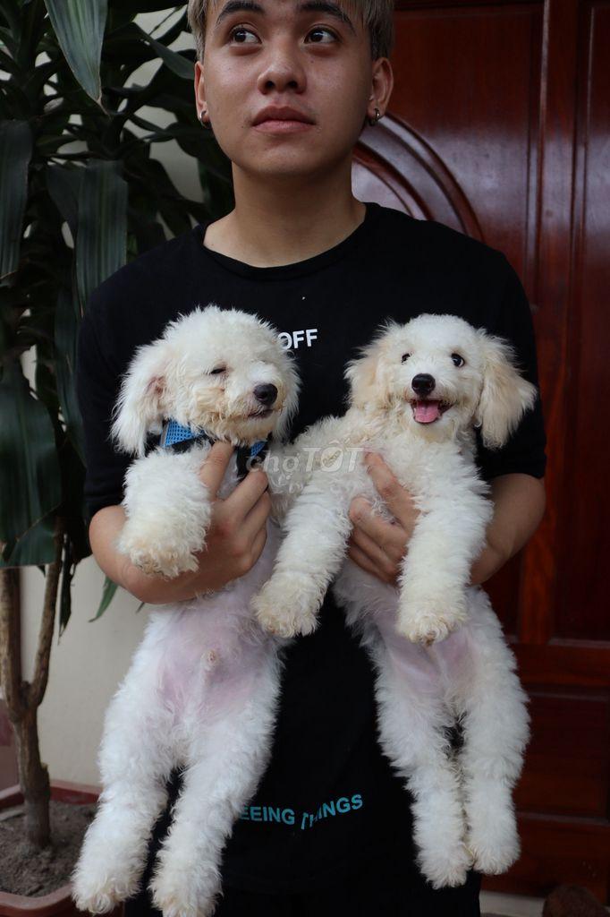 0981936828 - Cần tìm chủ mới cho cún poodle ( pút đồ ) 4 tháng