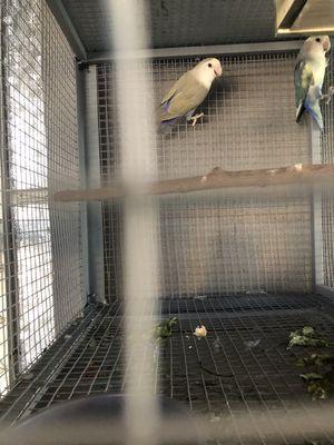 Vẹt lovebird non chuẩn bị tập ăn