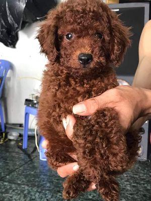Chó poodle 6 tháng tuổi đực 3500 cái 4 triệu