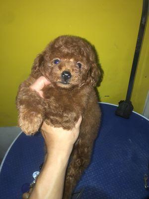 cún poodle nâu đỏ đậm đực 2 tháng