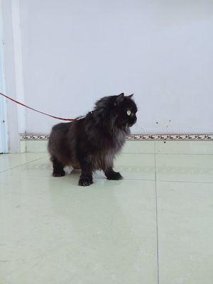 Mèo Anh lông dài chưa đẻ cần bán gấp khu vực hànam