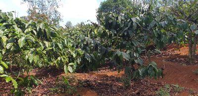 Cần sang nhượng đất cà phê và tiêu. Đất có sổ đỏ