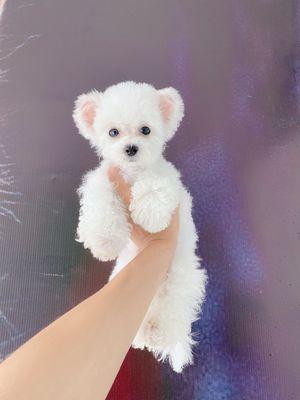 Chó Teacup bichon , teacup poodle
