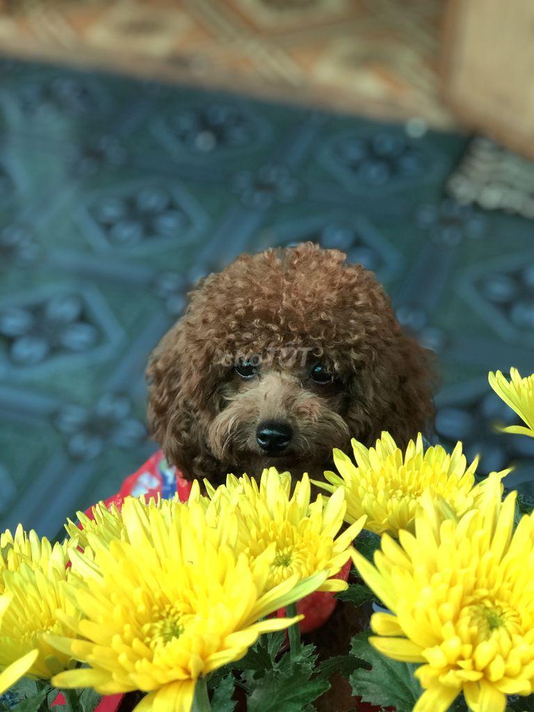 0388208024 - Poodle đực nâu 2 tháng tuổi tìm nhà mới