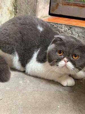 Mèo lông ngắn đẹp thuần chủng
