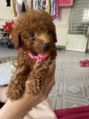 Chó Poodle Cái Nâu Đỏ 3 Tháng Tuổi Thuần Chủng