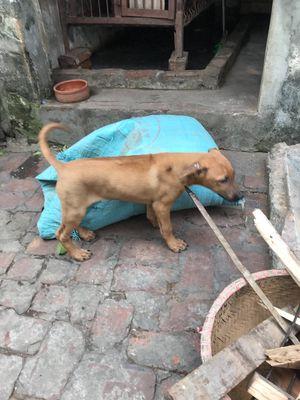 Bán cho xoáy Thái đực 10kg 4 tháng tuổi