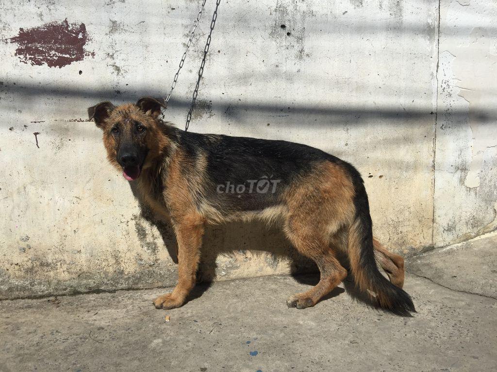 Chó becgie Đức thuần chủng ( Cái ) 6 tháng