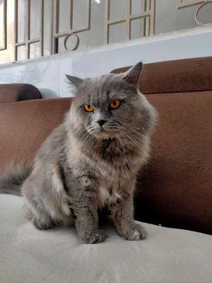 Nhận phối giống mèo ALN bao đậu