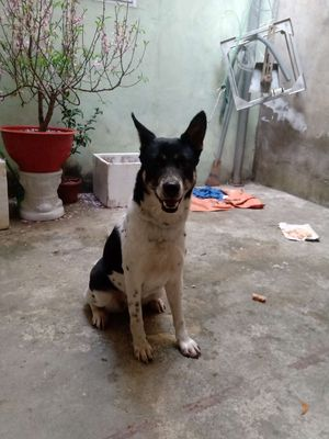Bán chó khôn và đẹp.