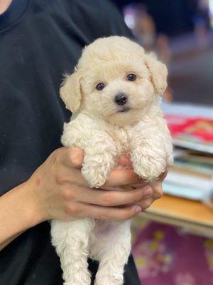 Poodle xuất chuồng