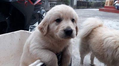 Chó Golden màu kem hơn 2 tháng tuổi