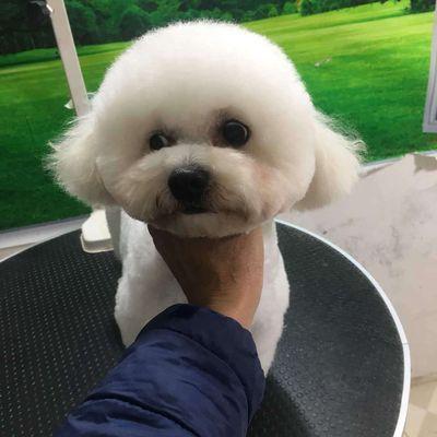 Chó Poodle cái trưởng thành 15tháng