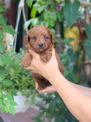 0822575555 - Chó Poodle đực lỗi lông 2,5 tháng