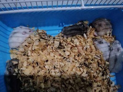 Cần bán vài bé Hamster winter white 1 tháng tuổi.