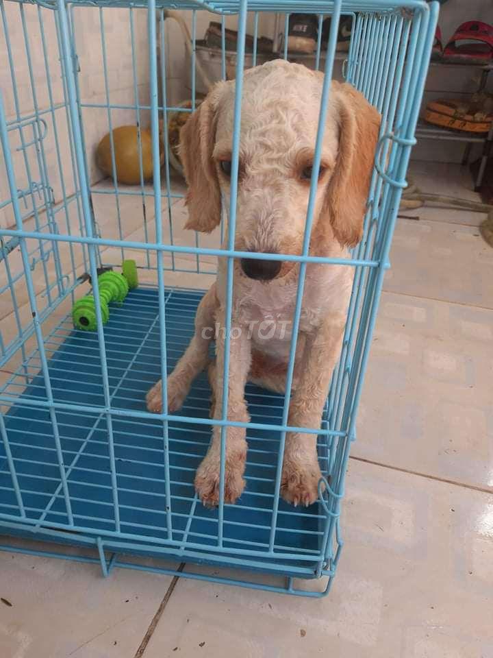 0907660718 - Chó poodle