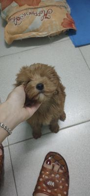 Chó poodle nhà đẻ size tiny, ăn khoẻ, quấn người,.
