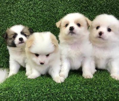 Chó nhà nuôi(phốc sóc nhật)