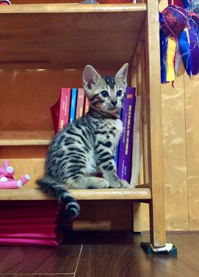 Mèo Bengal Cái