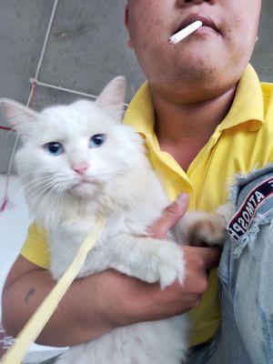 0334504114 - Cần bán e mèo anh lông dài