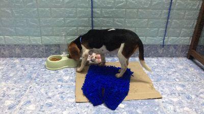 Em cần để lại bé Beagle 7 tháng tuổi