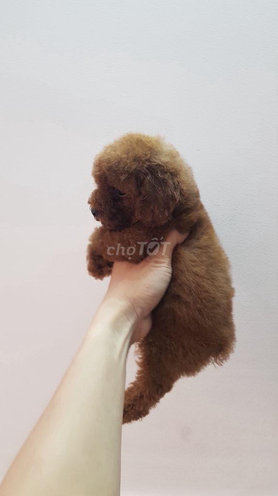 Poodle nâu đỏ đậm chuẩn tiny xinh cực