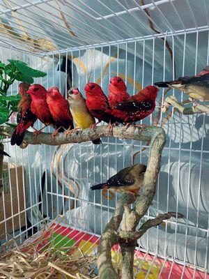 Bảo tồn chim manh manh mai hoa
