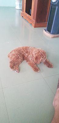 Chó Poodle được 9 tháng tuổi! Giá rẻ mùa dịch